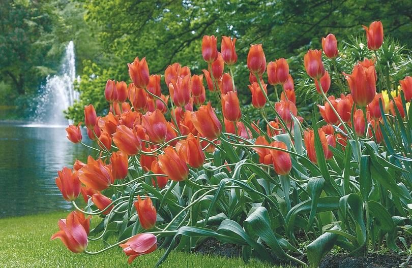 Amsterdam Tulip Festival - Great Escapes